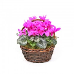 Cesta cyclamen /Basket cyclamen